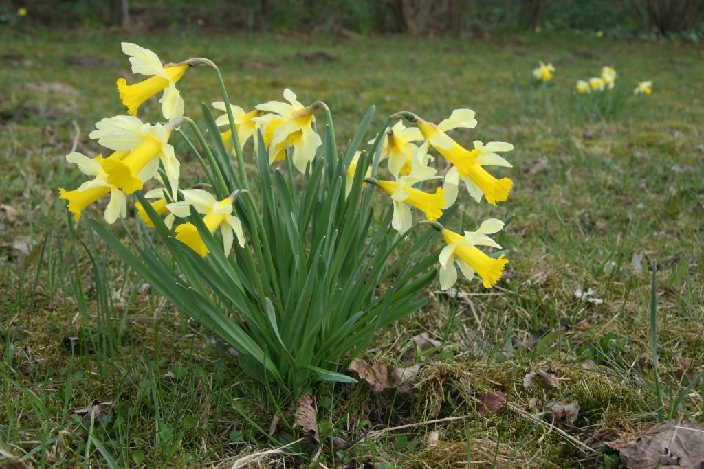 HOL-PLANT, Narcissus pseudonarcissus, 2010-04-05, Vaderland - kopie
