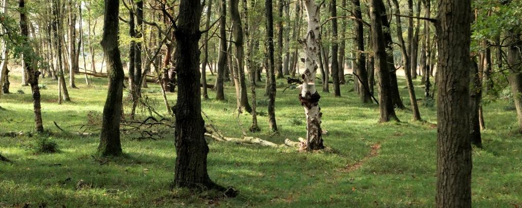 LOOFBOS, 2019-10-05, Oosterhesselen, De Klencke, berken-eikenbos met blauwe bosbes-2 - kopie