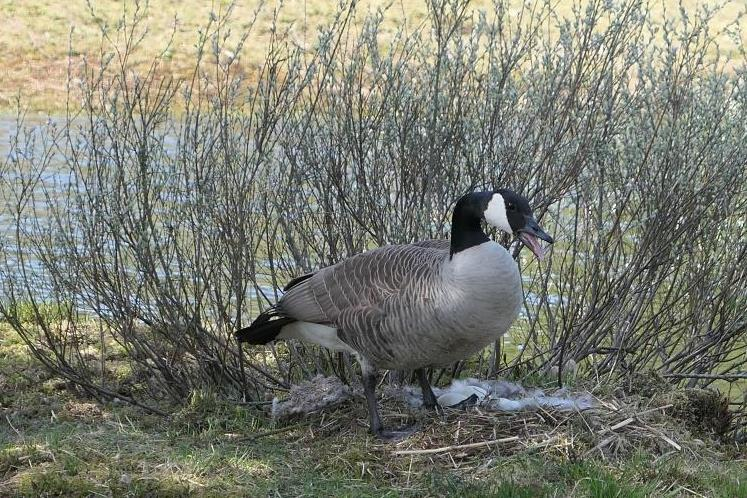 HOL-VOGELS, Grote Canadese gans, 2019-04-24, paar dreigend bij nest op eilandje Kristalmeer-3 - kopie