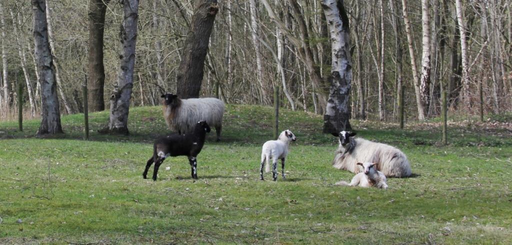 schapen-2